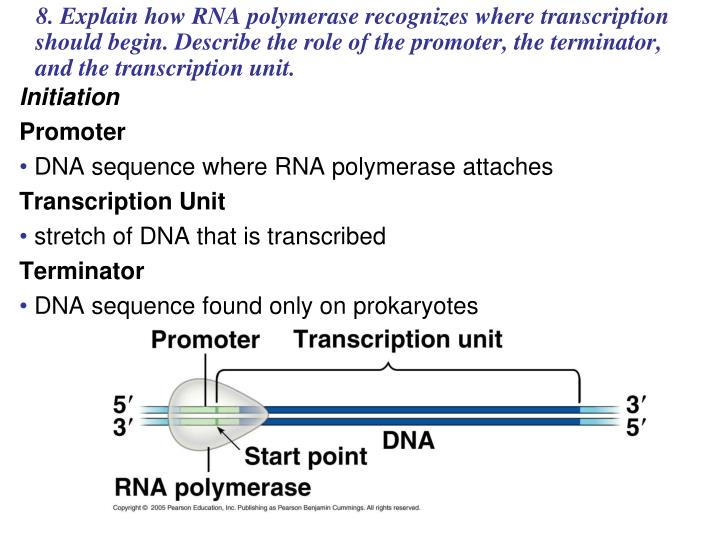 8. Explain how RNA polymerase recognizes where transcription should begin. Describe the role of the promoter, the terminator, and the transcription unit.