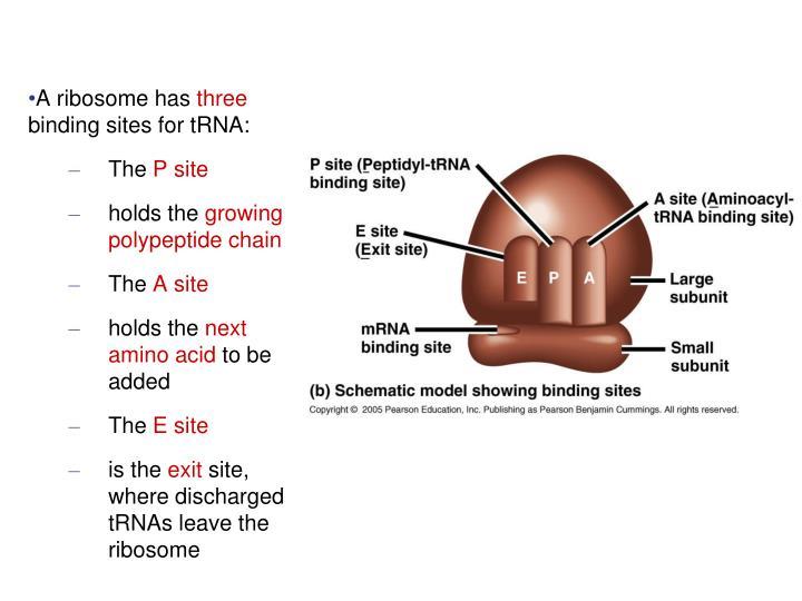 A ribosome has