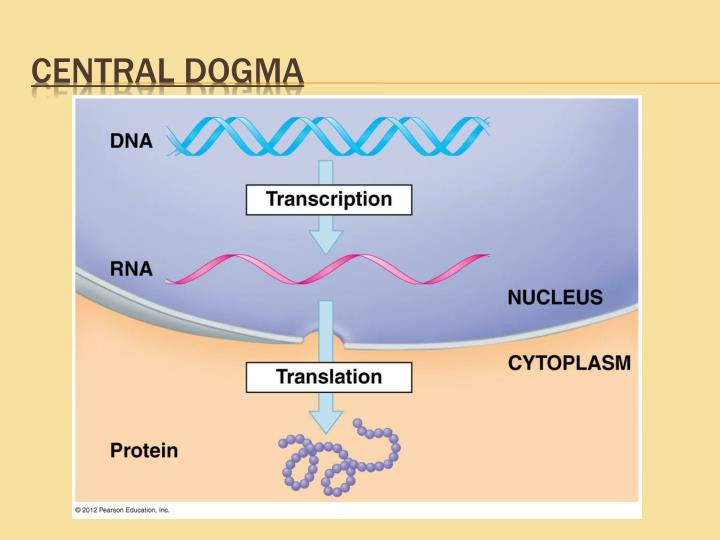central dogma paper Nucleic acids, macromolecules made out of units called nucleotides, come in two naturally occurring varieties: deoxyribonucleic acid (dna) and ribonucleic acid (rna) dna is the genetic material found in living organisms, all the way from single-celled bacteria to multicellular mammals like you and me.