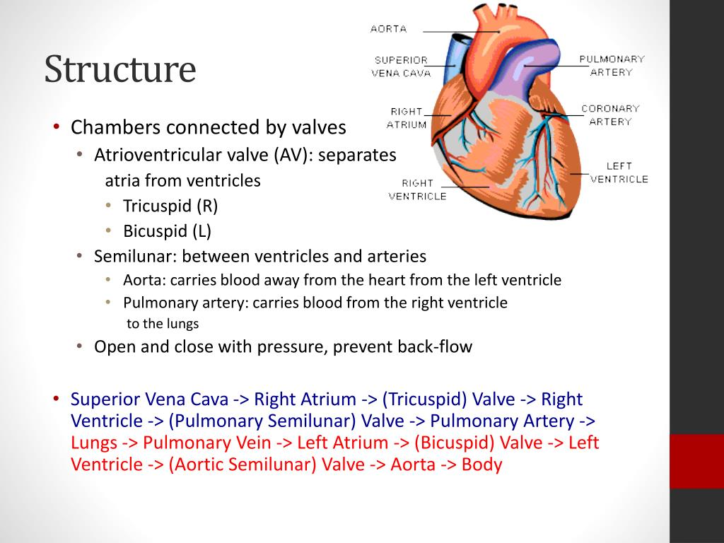 PPT - Heart Structure and Function PowerPoint Presentation ...