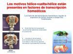 los motivos h lice vuelta h lice est n presentes en factores de transcripci n home ticos