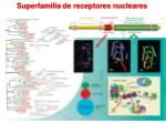 superfamilia de receptores n ucleares