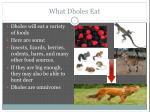 what dholes eat