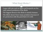 what hunt dholes