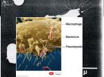 phagocytes in action