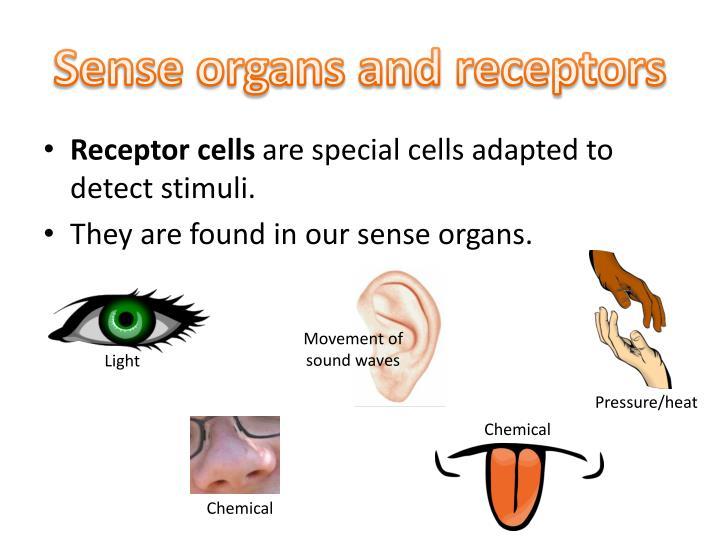 Sense organs and receptors