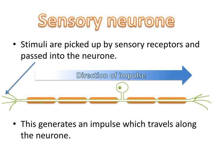 Sensory neurone