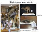 collection de mammalogie