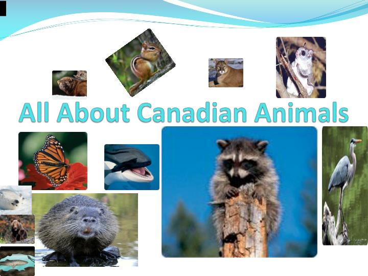 all about canadian animals n.