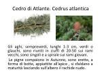 cedro di atlante cedrus atlantica1