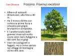 fam oleacee frassino fraxinus excelsior