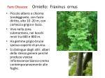 fam oleacee orniello fraxinus ornus