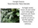 famiglia taxacee tasso baccata taxus baccata1