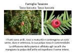 famiglia taxacee tasso baccata taxus baccata2