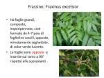 frassino fraxinus excelsior