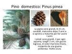 pino domestico pinus pinea1