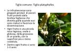 tiglio comune tiglio platyphyllos1