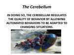 the cerebellum3