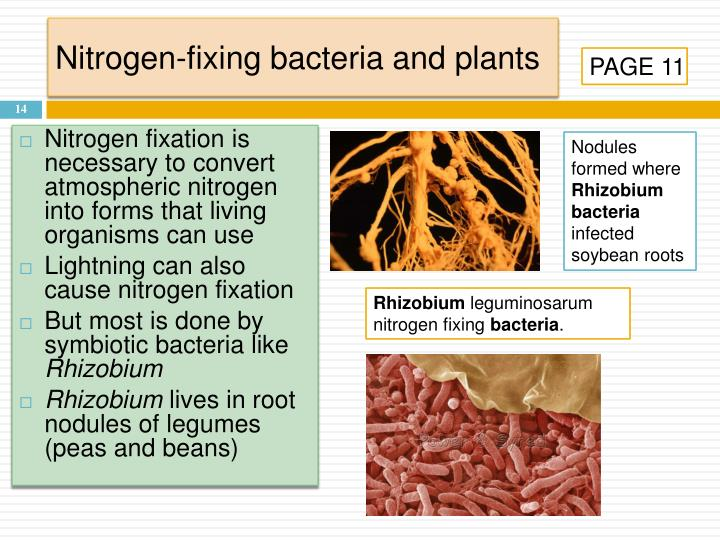 Nitrogen-fixing bacteria and plants