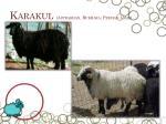 karakul astrakhan bukhara persian lamb