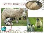 scotch highland