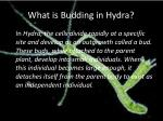what is budding in hydra
