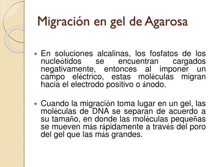Migración en gel de Agarosa