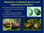 adaptations of whitebark pine for seed dispersal by nutcrackers