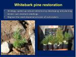 whitebark pine restoration