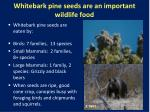 whitebark pine seeds are an important wildlife food
