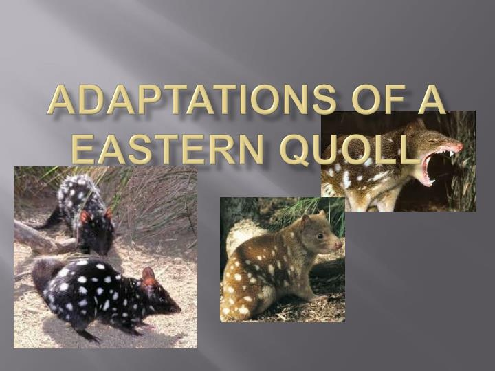 adaptations of a eastern quoll n.