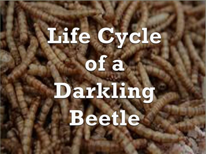 life cycle of a darkling beetle n.