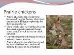 prairie chickens1
