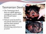 tasmanian devil1