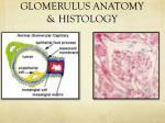 glomerulus anatomy histology