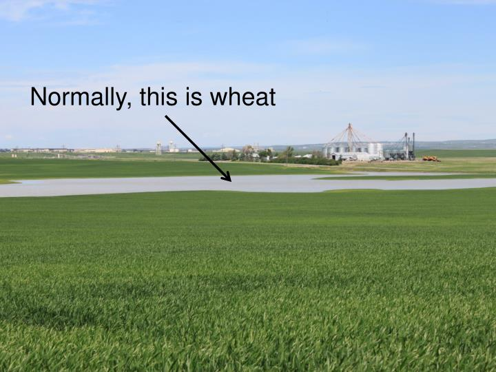Normally, this is wheat