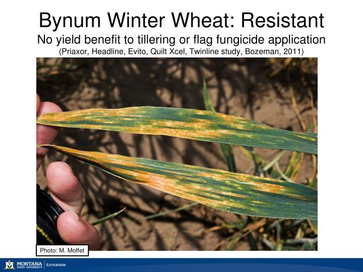 Bynum Winter Wheat: Resistant