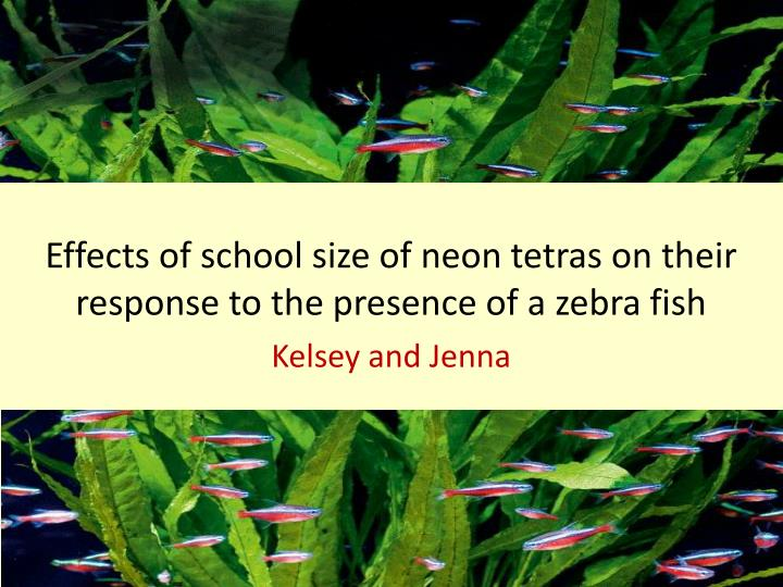 effects of school size of neon tetras on their response to the presence of a zebra fish n.