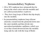 juxtamedullary nephrons