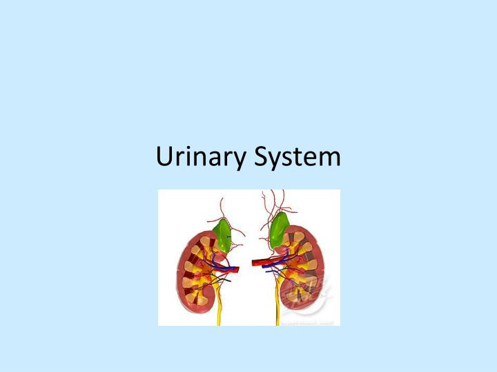 urinary system n.