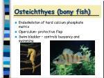 osteichthyes bony fish