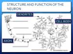 structure and function of the neuron5