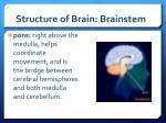 structure of brain brainstem1