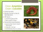 class amphibia order caudata