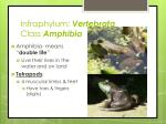 infraphylum vertebrata c lass amphibia