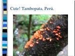 cute tambopata per