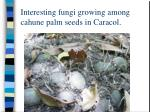 interesting fungi growing among cahune palm seeds in caracol