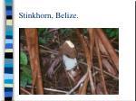 stinkhorn belize