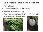 baldcypress taxodium distichum