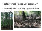 baldcypress taxodium distichum1